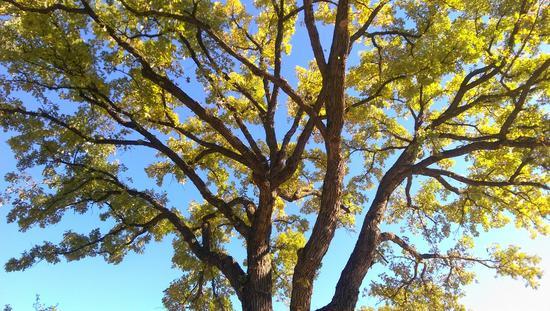 1 oak cv