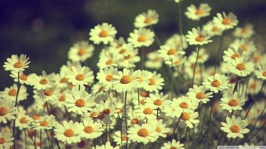 Vintage daisies photography 00449004 640x360 cv