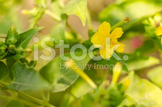 Stock photo 71221103 yellow evening primrose cv
