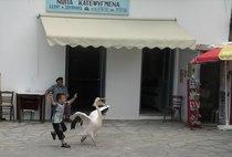 Pelikan  cv