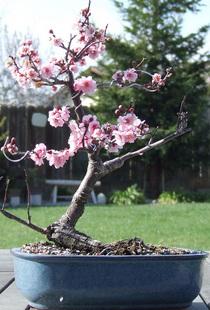 Bonsai tree1 cv
