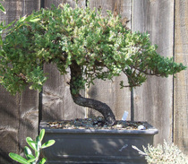 Tree3 cv