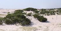 Dunes cv