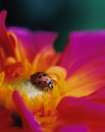 Ladybug cv