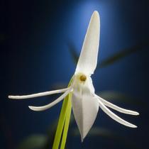 011 orchidmoonlight2 cv