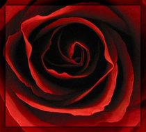 Red rose cv