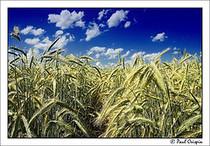 Wheat 2 cv