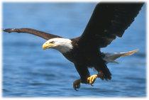 Eagle cv