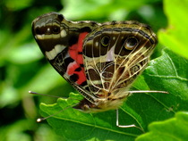 Butterfliesclm 49  cv