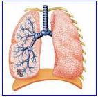 Lungs cv