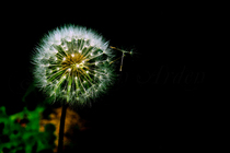 Dandelions 023 cv