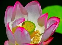 Lily cv