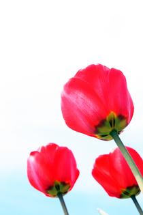 Tulips 03 cv