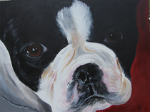 Boston terrier cv