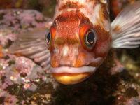 Rockfish ramaglia cv