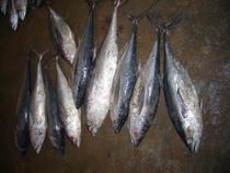 Gwadar fish cv