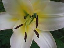 Closeupoflily cv