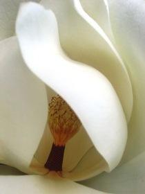 Magnolia cv