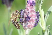Bee1 cv