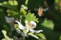 Flying bee cv