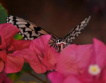 Sipping nectar cv