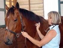 Horse vet cv