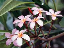 Frangipani flowers cv