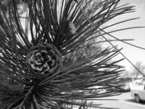 Pine cone cv