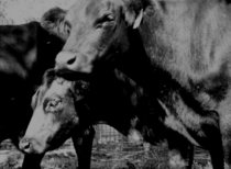 Bw cattle cv