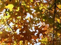 Autium leaves cv