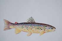 Geman brown trout cv