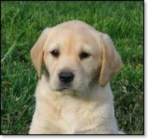 British 20lab 20puppy cv