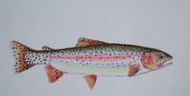 Rainbow trout 3 cv