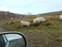 Skye sheep original cv