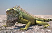 Bradycurtright iguana 01 cv