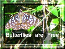Butterlies are free cv
