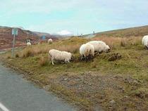 Sheep cv