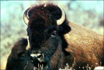 Bison 3 cv