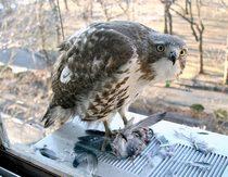 Hawk cv