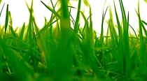Grassland cv
