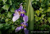 Orqu%c3%8ddeas violetas cv