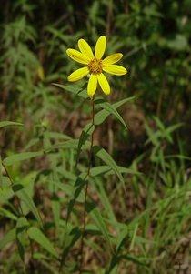 Helianthus divaricatus plant cv