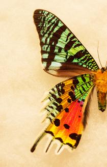 Sunset moth left cv