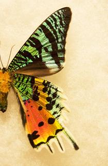 Sunset moth right  cv