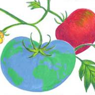 Peaceful valley tomato cv