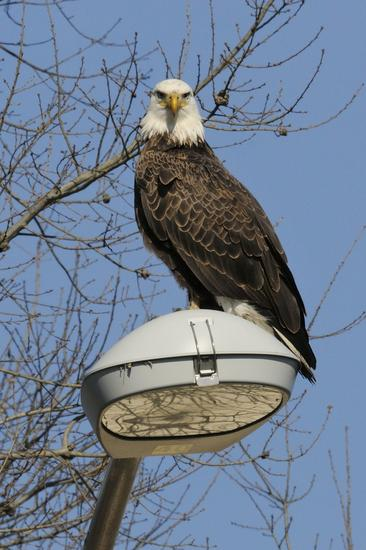 Bald eagle lightpole thumb