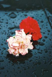 Flores cv