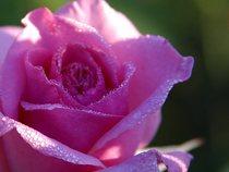 Pink roses dew cv