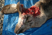 Mule deer head shot dissection a cv