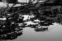 Water branch grey cv